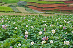 Campos de la patata con los campos colgantes coloridos 2 Fotografía de archivo libre de regalías