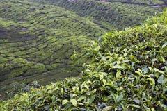Campos de la plantación de té de las montañas de Cameron Fotografía de archivo libre de regalías