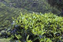 Campos de la plantación de té de las montañas de Cameron Foto de archivo