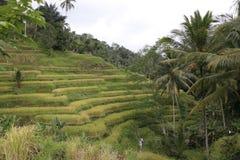 Campos de la terraza del arroz Imagen de archivo