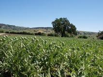 Campos de las alcachofas Imagen de archivo