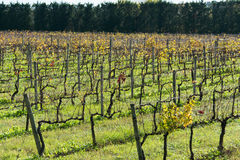 Campos de las uvas Foto de archivo libre de regalías