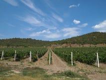 Campos de las vides de uva Fotografía de archivo libre de regalías