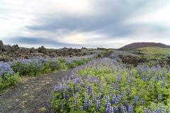 Campos de lava, tremoceiros, Islândia foto de stock