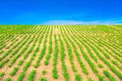 Campos de los cacahuetes Imagen de archivo libre de regalías