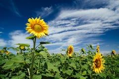 Campos de los girasoles debajo del cielo azul Fotografía de archivo libre de regalías
