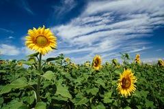 Campos de los girasoles debajo del cielo azul Fotos de archivo libres de regalías