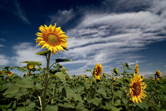 Campos de los girasoles debajo del cielo azul Fotos de archivo