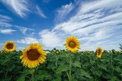 Campos de los girasoles debajo del cielo azul Imágenes de archivo libres de regalías