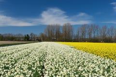 Campos de los narcisos blancos y amarillos en los Países Bajos Fotos de archivo