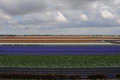 Campos de los tulipanes Imagen de archivo libre de regalías