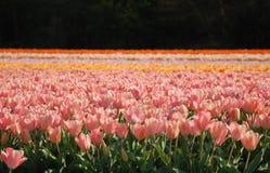 Campos de los tulipanes Fotos de archivo libres de regalías