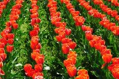 Campos de los tulipanes durante la primavera Fotografía de archivo