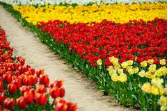 Campos de los tulipanes durante la primavera Imagen de archivo libre de regalías