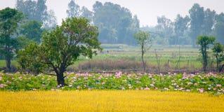Campos de Lotus Imagenes de archivo