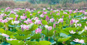 Campos de Lotus Imagen de archivo