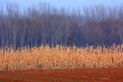 Campos de maíz Fotos de archivo libres de regalías