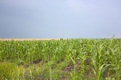 Campos de maíz Fotografía de archivo libre de regalías