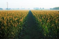 Campos de maíz Imágenes de archivo libres de regalías