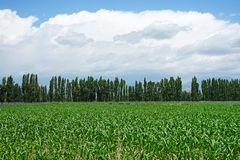 Campos de maíz Imagen de archivo libre de regalías