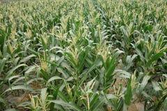 Campos de maíz Imagenes de archivo