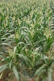 Campos de maíz Foto de archivo