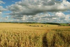 Campos de maíz con las nubes Fotos de archivo libres de regalías