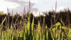 Campos de maíz, contraluz metrajes