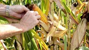 Campos de maíz, contraluz almacen de video