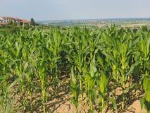 Campos de maíz de Monferrato imagen de archivo