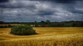 Campos de maíz debajo de los cielos nublados Fotos de archivo