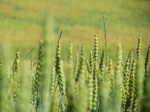 Campos de maíz en Noruega Strondheim Fotos de archivo