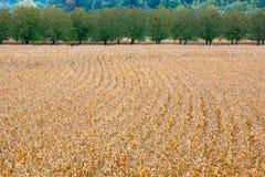 Campos de maíz maduros Imagenes de archivo
