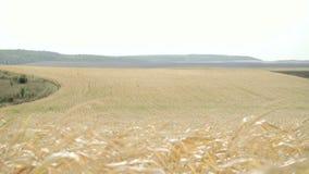 Campos de maíz maduros en día ventoso en 4K almacen de metraje de vídeo