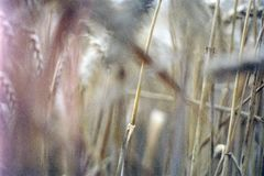 Campos de maíz, Oxfordshire foto de archivo libre de regalías