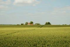 Campos de maíz verdes de oro Imagenes de archivo