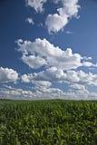 Campos de maíz y cielos de Wisconsin Imágenes de archivo libres de regalías