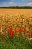 Campos de milho Imagens de Stock Royalty Free