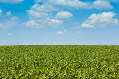 Campos de milho Fotografia de Stock Royalty Free