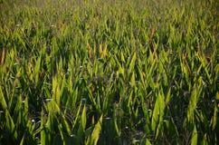 Campos de milho Fotos de Stock