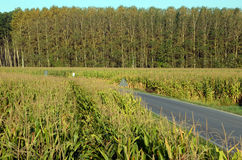Campos de milho Imagem de Stock