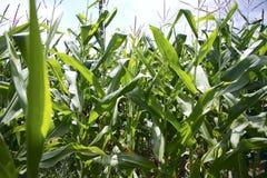 Campos de milho. Fotografia de Stock