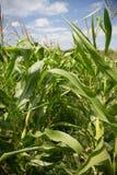 Campos de milho. Fotos de Stock