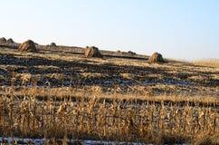 Campos de milho após Harvestry Fotos de Stock Royalty Free
