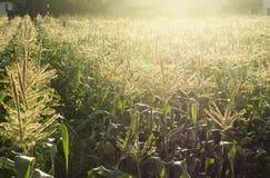 Campos de milho com luz solar imagem de stock royalty free