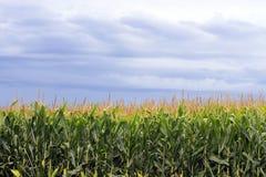 Campos de milho com o céu nebuloso no fundo Foto de Stock Royalty Free