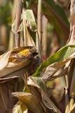 Campos de milho de Iowa foto de stock