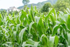 Campos de milho nos subúrbios fotos de stock