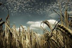 Campos de milho rurais imagem de stock royalty free