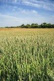 Campos de milho vastos no vale de Guadiana, Espanha Imagens de Stock Royalty Free